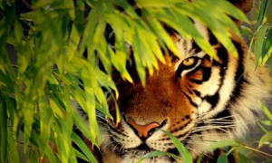 These tigers are the heritage of Bengal